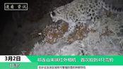 祁连山末端红外相机,首次拍到4只雪豹