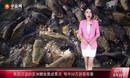 美国泛滥的亚洲鲤鱼竟成景点 每年50万游客观看