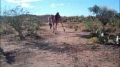 视频:奔跑吧骆驼