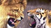 两只老虎面对一只狮子,结果瞬间悲剧了,狮子的下场无眼看