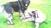 国外土豪在后院养了两只高加索犬,喝水都是用桶喝,霸气无比