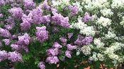 春天在哪里?就在盛开的这一树树丁香花树里