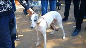 狗市上一条体型很好的惠比特犬,有人问价,却无人购买