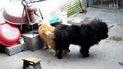 松狮配狗视频