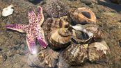 青岛连三岛赶海,进入深水废弃鲍鱼池搜索,海螺海星集体被掏窝