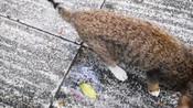 在中国常见的动物,受到美国人追捧,海外售价一只200美元!-观史谈今-诚钢工作室