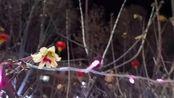 寒夜怒放的腊梅 叶县最美景点竟然是这里 家住叶县系列