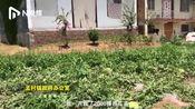 陕西蓝田650个被砍西瓜续:政府发放临时救助金,专案组调查中