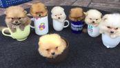 茶杯犬为什么只有杯子那么大?看完它的来历,你还想养吗?