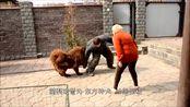 """藏獒遇上高加索犬,这两只""""狗中王者""""谁更胜一筹?结局出人意料"""