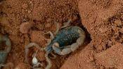 【蝎】雌蝎的攻击、护崽与幼蝎的爬背(Buthus.martensii/马氏正钳蝎/东亚钳蝎)2019.7.27