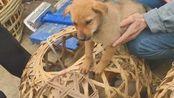 中华田园犬是不会消失的,这个视频给你答案