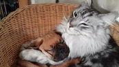 萌宠 巴哥犬被缅因猫搂着睡觉,这次猫和狗的体型差好像反过来了?