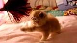 加菲猫 异国短毛猫