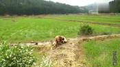 农村大叔带着土狗进山,稻田边的动静,让中华田园犬挖了20分钟