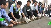 佛山一商铺天花板掉下40斤大蟒蛇,店主吓懵,难道是10年前那条蛇?