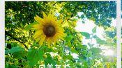 向日葵真的一生向着太阳生长吗?