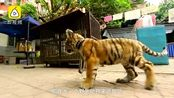 9岁女孩遛老虎 专业人士质疑:仍有危险性 它可能会忘记自己的天性