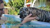 小老虎学游泳,一不小心呛了口水,老虎:好歹我是个丛林之王