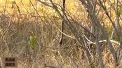 动物世界: 猫鼬用蛇荡秋千