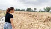 一场暴雨过后,农村麦田地倒伏严重,媳妇:太可惜会不会减产?