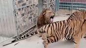 雄狮真是太凶猛了,自己战两只老虎都不怕,不愧是丛林之王!
