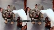 八哥犬遇到大鹦鹉两只动物好像再演三生三世表情萌翻全场