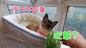 给主子们种的猫草终于长好了!暹罗猫张口就咬,竟还藏起来偷吃!