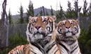 动物世界:老虎狮子搏击对比,老虎看起来更凶