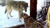 圈养雪豹碰到狼,养的就是不能和野生的比