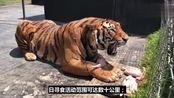 我们都知道老虎是丛林之王!可是你们知道为什么吗?