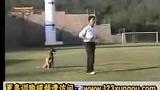 训练蝴蝶犬  训练哈威那