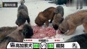 中国藏獒与高加索犬的较量,两者势均力敌,你更支持哪一种呢?