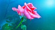 红蔷薇一曲伤感情歌《爱人你辛苦了》好听极了