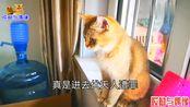 二伏天人和猫热得受不了,这只公猫够聪明,竟然学会了物理降温