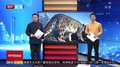 四川阿坝州:极罕见!四姑娘山首次拍到野生雪豹清晰影像