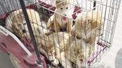 河南商丘最大宠物交易市场,中亚猎狼犬,高加索犬宠物狗应有尽有