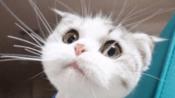 地球上三大人气最高的宠物猫,中国狸花猫上榜,你养了哪一种?-搞笑-高清完整正版视频在线观看-优酷
