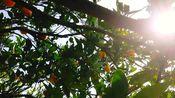 转山看水摘橘子