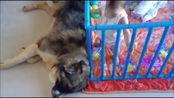 牧羊专家高加索犬,陪伴在小宝宝身边!温顺的不像话