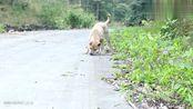 中华田园犬发现一只虫子,没想到它竟会这么做,它真的是懒到家了
