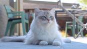 布偶猫:今日阳光正好微风不燥,朕来踏踏青爬树会个友,岂不喵哉