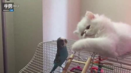 萌萌波斯猫与小鹦鹉嬉戏打闹如好友