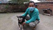湖南宁远农村里的中华田园犬,稍作训练就可以成为优秀的土猎犬2