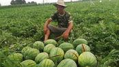 2万多斤西瓜一夜之间全被砍烂,全家六口人的希望,一晚上破灭!