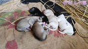 小伙家的中华田园犬生下了五只小中华田园犬
