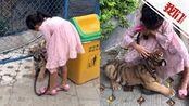 """园方回应""""9岁女孩遛老虎"""":为老虎健康着想 饲养员父亲在旁"""