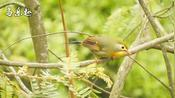 鸟叫声:野生红嘴相思鸟的叫声,清脆响亮