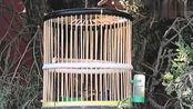 鸟笼里相思鸟羽毛鲜艳,挂在绿树茂密的绿叶间,好一道美丽风景