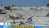 青海 长江源头迎新生斑头雁